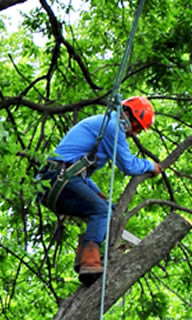 tree trimmer worker in tree