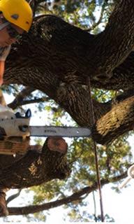 St Petersburg FL Tree Timming