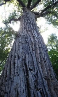 Big Pine Removal