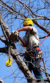Tree trimmer at work in tree